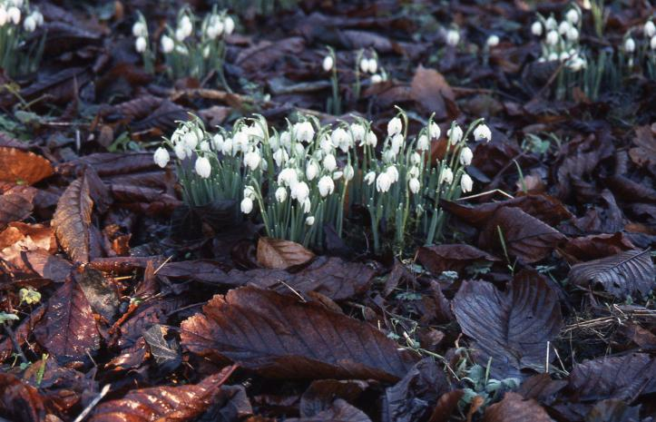 snowdrops in Lydiard Park