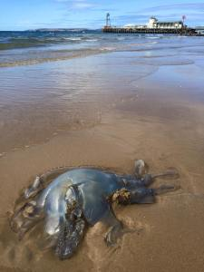 Local jellyfish, luckily did see any in the swim